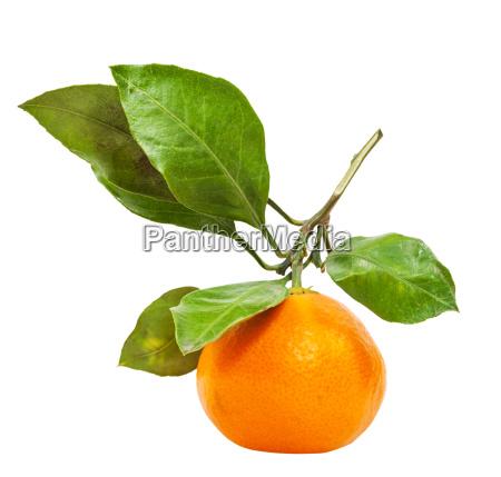 twig with fresh ripe abkhazian mandarin