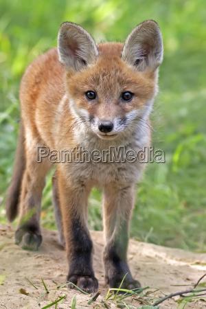 animale selvaggio animali mammiferi natura volpe