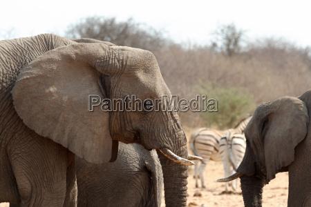 animale africa elefante natura safari