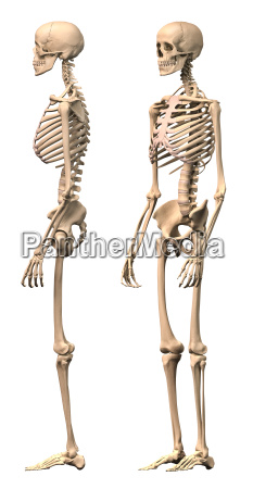 male human skeleton two views side