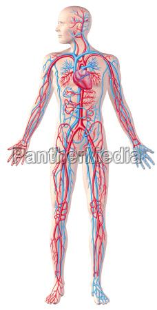 sistema umano circolatorio figura intera illustrazione