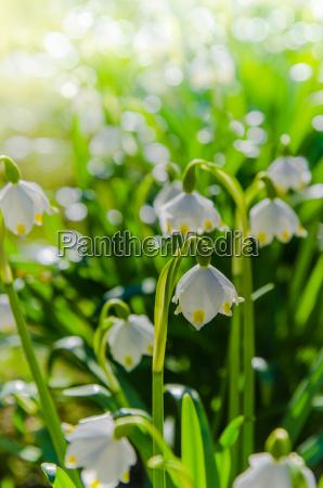 gocce di neve di primavera bianca