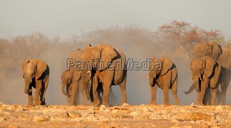 africa elefante namibia elefanti natura africano