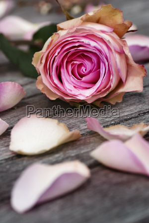 fiore pianta rosa nozze matrimonio convivenza