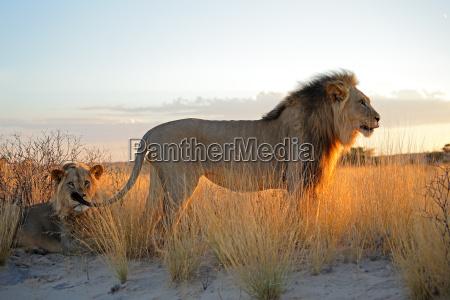 grandi leoni africani maschi