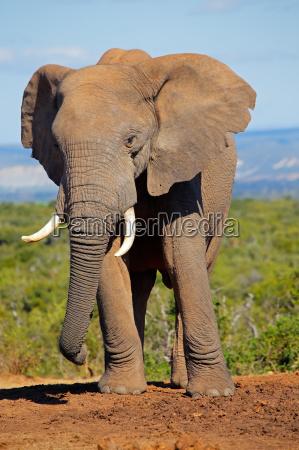 elefante zanna toro natura sudafrica africano