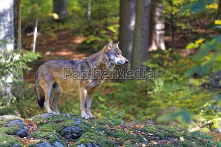 albero alberi parco nazionale baviera lupo