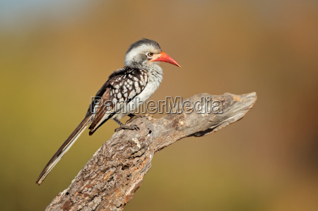 uccello ala penne piume becco pennuto