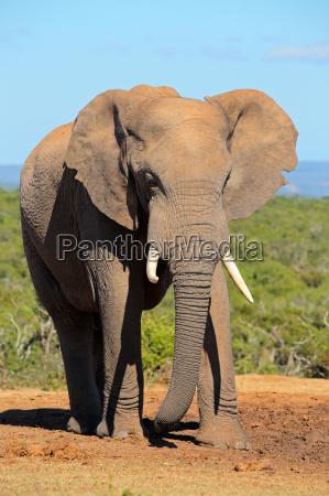 parco elefante zanna africano