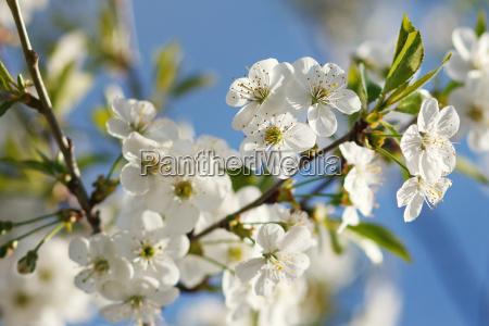 fiori bianchi in fiore sul ramo
