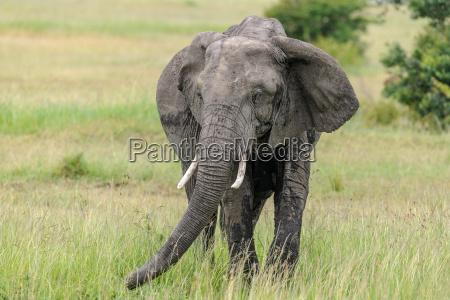 africa elefante kenia zanna savana natura