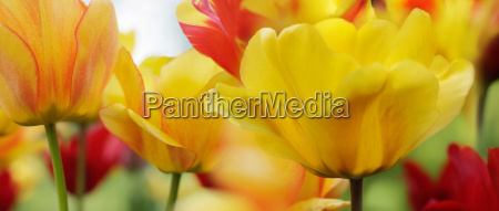 tulips red yellow highres