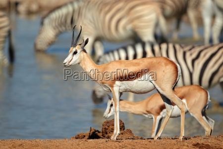 animale mammifero zebra natura antilope