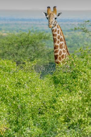 animale africa kenia savana natura safari