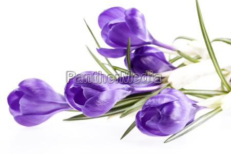 alcuni fiori primaverili di violetta croco