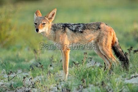 animale predatore habitat sciacallo natura naturale