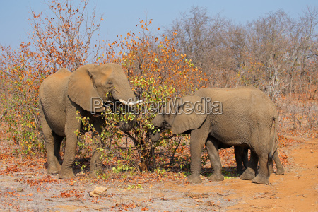 nutrire gli elefanti africani