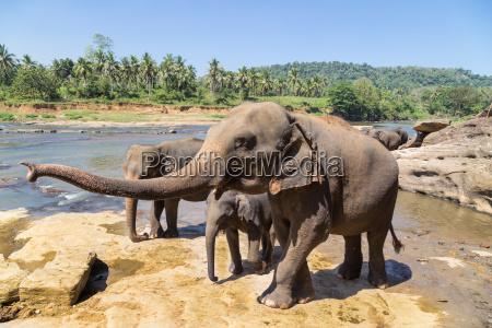 famiglia di elefanti sul fiume