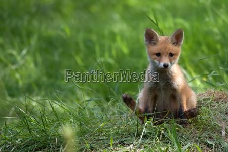 fox in the wild