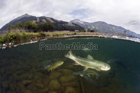 austria styria grueblsee brook trouts and