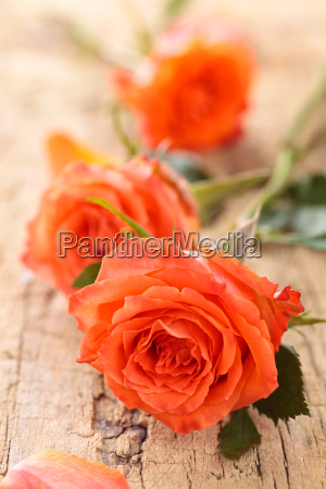 fiore pianta rosa mazzo bouquet striscione