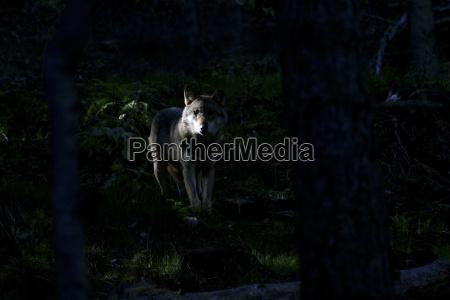 animale notte orizzontale allaperto natura lupo