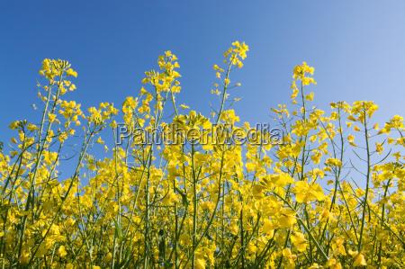 fioritura fiorire colza primavera maggio germania