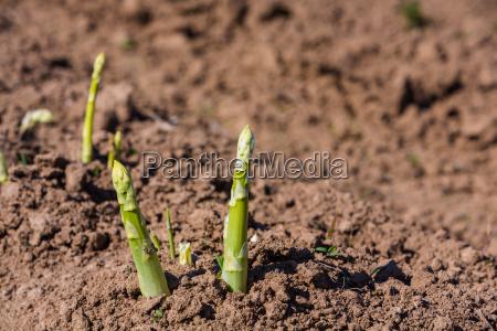 giardino agricoltura campo coltivazione asparago crescere