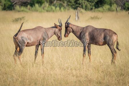 animale mammifero marrone africa animali savana