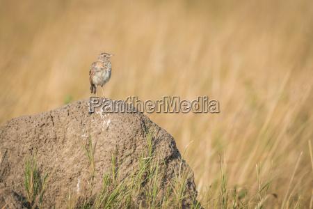 uccello marrone africa animali savana luce