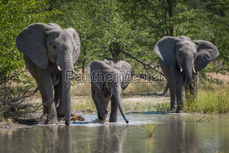 bere albero alberi mammifero africa elefante