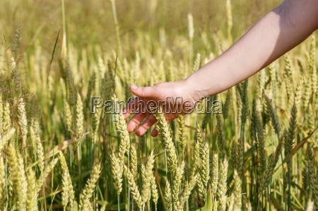 cibo campo grano orecchio segale prato