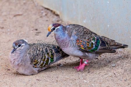 uccello piccione common bronzewing