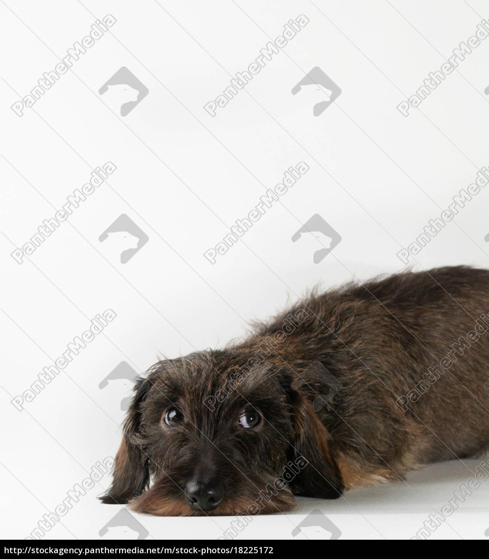 cane, che, si, trova, su, sfondo - 18225172