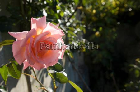 rose in morning sunshine