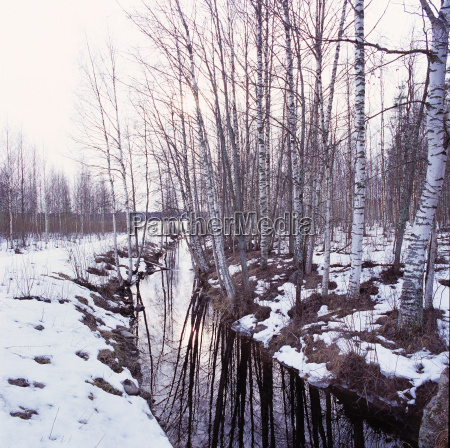 a snowy birch tree forest with