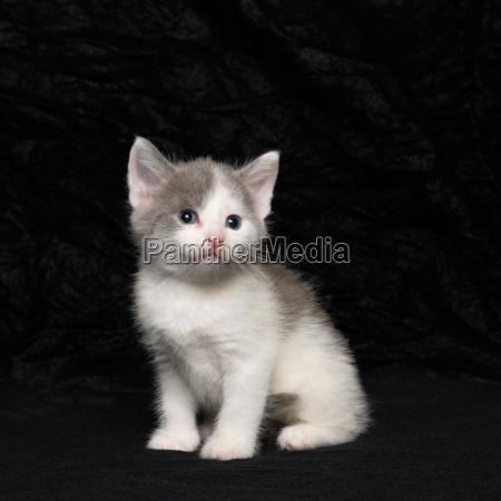 portrait of kitten on black background