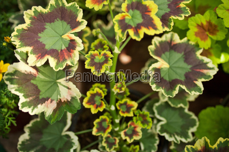close up of striped leaves of