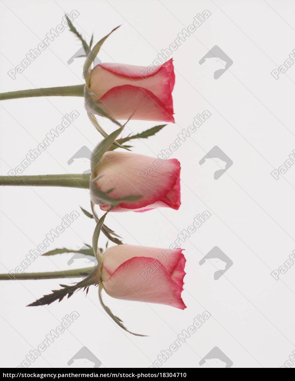 tre, boccioli, di, rosa, su, sfondo - 18304710