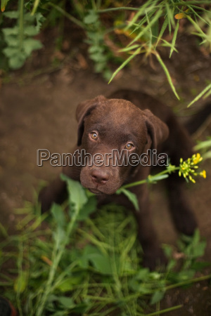 labrador puppy sitting in grass