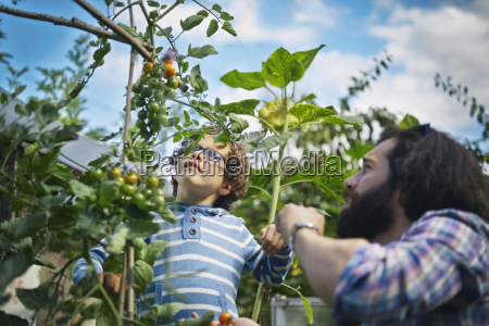 father and son picking cherry tomatoes