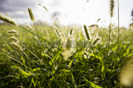 primo piano di erbe lunghe illuminate