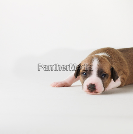 dog lying on white background