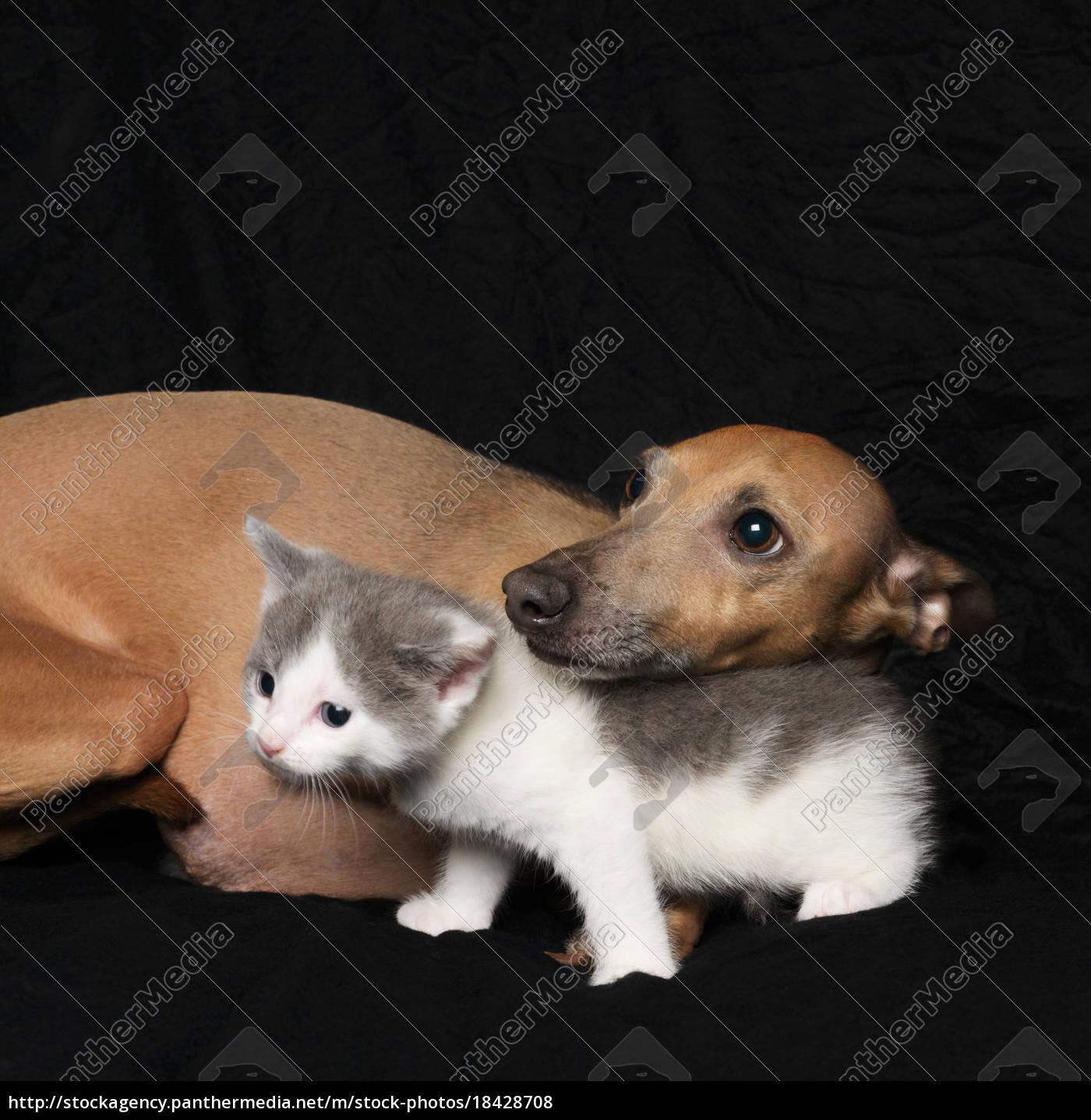 gattino, e, cane, su, sfondo, nero - 18428708