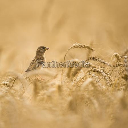 sparrow della casa femminile passer domesticus