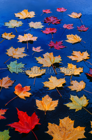 maple leaves on asphalt