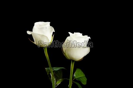 white, roses - 18610290