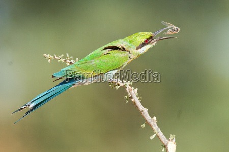swallow tailed bee eater perching on