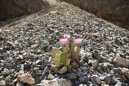 flowering cactus on rocks