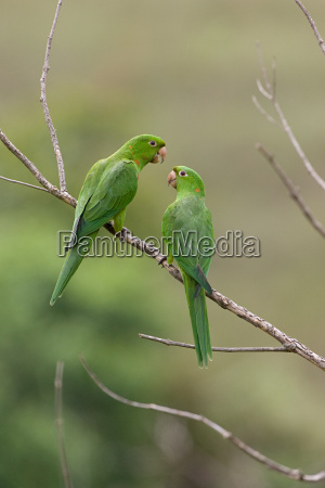two white eyed parakeets